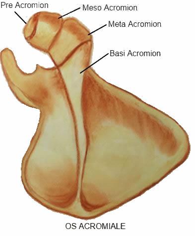 Die Frozen Shoulder oder adhäsive Kapsulitis ist eine schmerzhafte Schultersteife bei der die Gelenkkapsel der Schulter betroffen ist Die Gelenkkapsel ist eine faserige Manschette die das Schultergelenk umgibt und enthält